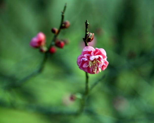 紅梅の開花/2017年