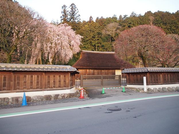 高麗神社しだれ桜 331