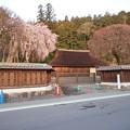 写真: 高麗神社しだれ桜 331