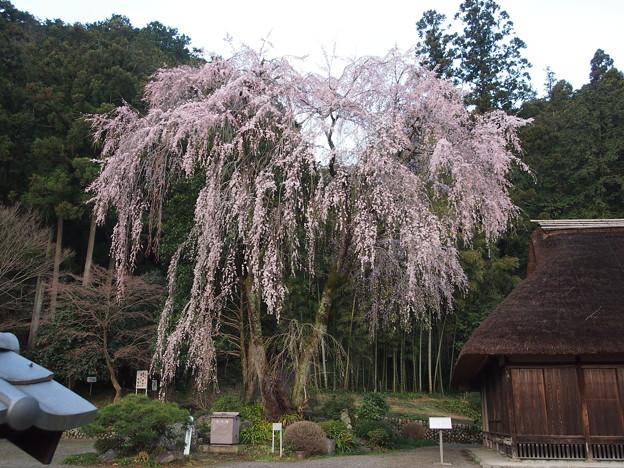 高麗神社しだれ桜 318