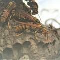 少し活発になったアシナガバチ