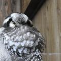 写真: フクロウの笑い