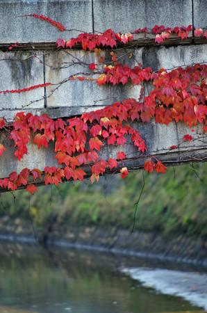 紅葉した蔦