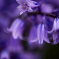 写真: 紫に魅せられて