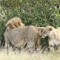 Photos: アフリカの動物Loveryシリーズ7