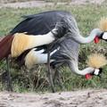 写真: アフリカの動物Loveryシリーズ10