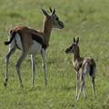 写真: アフリカの動物Loveryシリーズ11