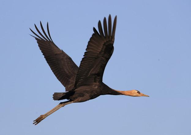 ナベヅル幼鳥-飛翔-1