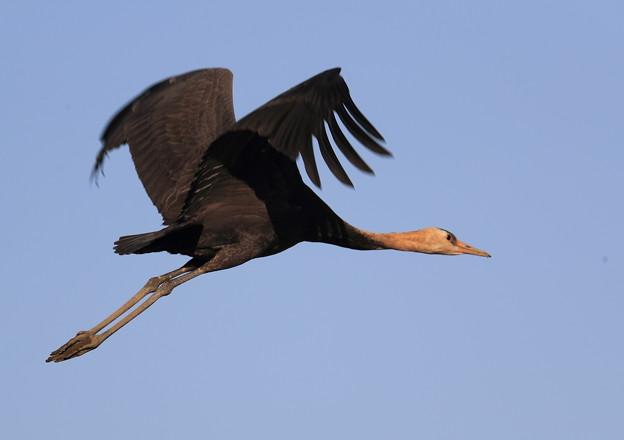 ナベヅル幼鳥-飛翔-2