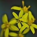 写真: 秋に見られる黄色い花