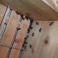 8月22日の日本ミツバチ