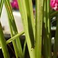 オオヒカゲ幼虫 (1)