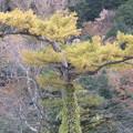 Photos: 黄に染まった木