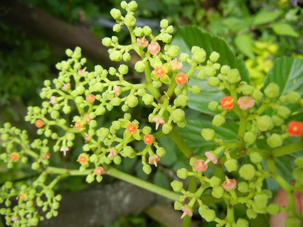 ヤブガラシの花