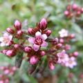 写真: セダムの花