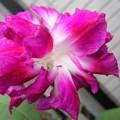 写真: 変わり咲き朝顔