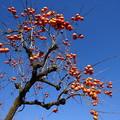 写真: 柿と晩秋の空