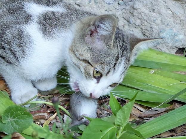 食欲の秋(食べ乍ら見んとい亭!) Cat Eats Mouse