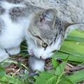 Photos: 食欲の秋(食べ乍ら見んとい亭!) Cat Eats Mouse