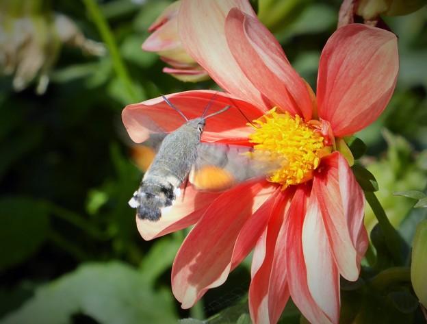 アルメニアの蜂雀と花 Hawk moth & Flowers         今夕から4週間インド旅行のため不在です