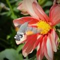 写真: アルメニアの蜂雀と花 Hawk moth & Flowers         今夕から4週間インド旅行のため不在です