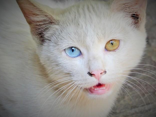 写真: 金目銀目の白猫 Odd-Eyed Cat                 4/6から月末まで中国方面旅行のため不在です