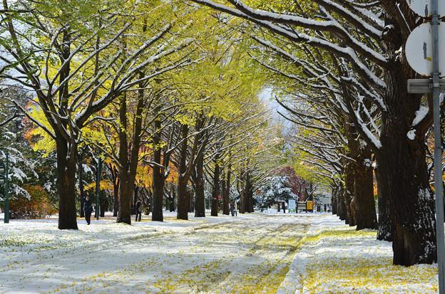 雪の北大イチョウ並木1s