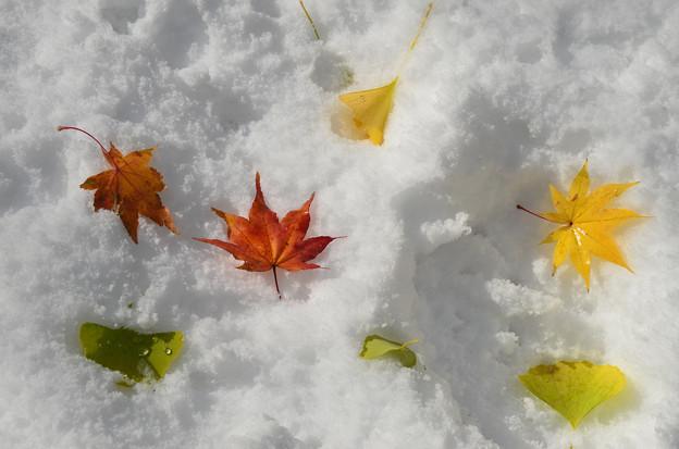 雪の北大紅葉4s