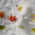 Photos: 雪の北大紅葉4s