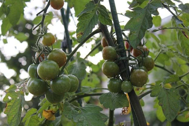 写真: プチトマト