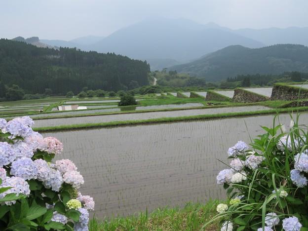 写真: 紫陽花と水田