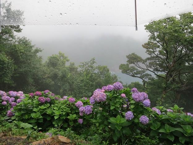 写真: 雨とあじさい