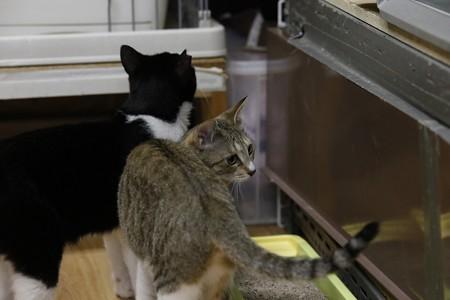 花音「普段は他猫とも仲良しなの」