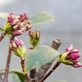 沈丁花 蕾