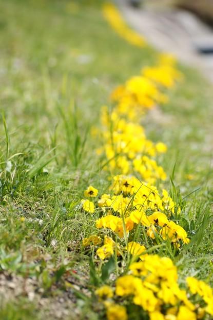 Photos: 幸せの黄色い花