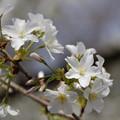 オオシマザクラ(大島桜) 25032017