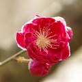 ハナモモ(花桃) 28032017