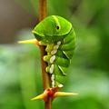 Photos: こんにちは、アゲハの幼虫