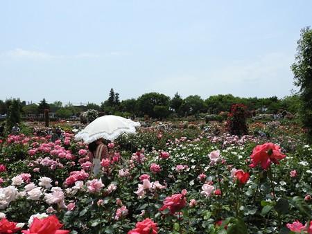 京成バラ園19