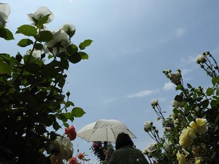 京成バラ園23