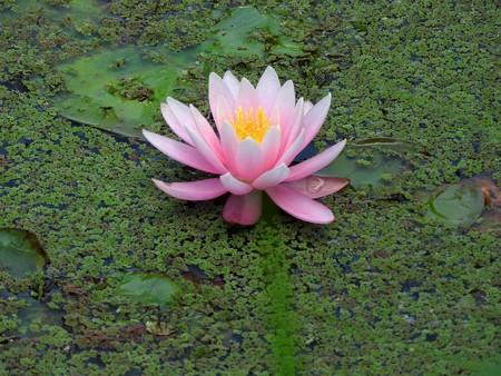 京成バラ園 睡蓮の池08