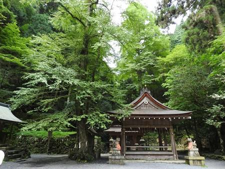 貴船神社 奥宮10 桂(御神木)