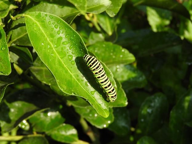 写真: キアゲハの幼虫2
