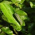 キアゲハの幼虫2