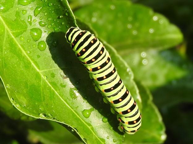 キアゲハの幼虫2 オーブ1