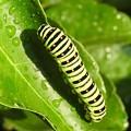写真: キアゲハの幼虫2 オーブ1
