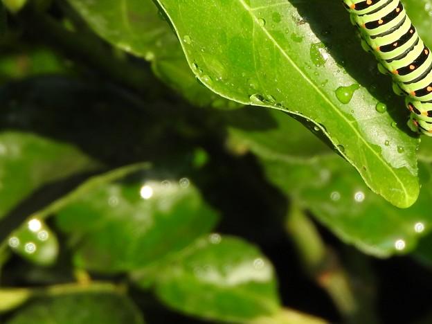 キアゲハの幼虫2 オーブ2