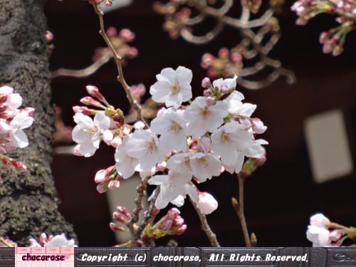 Photos: 桜の標本木、咲いてる桜