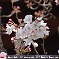桜の標本木、咲いてる桜