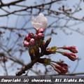写真: 千鳥ヶ淵のかろうじて咲いてた桜